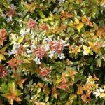 Abelia  grandiflora Kaleiodoscope - sole - 36 - 18 - arbusti-piccoli-e-medi-da-fiore-in-fioriere-e-giardini-forsythia-rose-berberishypericum-e-perenni-di-media-grandezza-sia-spoglianti-che-no