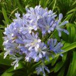 Agapanthus umbellatus Blu - pieno-sole - 36 - 18 - chrysanthemum-max-coreopsis-diascia-hemerocallis-sedumtradescantia