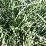 Carex  oschimensis Everest - mezzo-sole - 36 - 9 - aster-boltonia-eupatorium-monarda-heliopsis-rudbeckia-sedum-veronica