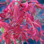 Allium senescens Acer Corallinum - sole - 36 - 28 - come-esemplare-unico-con-altri-aceri-per-creare-zone-di-colore-o-insieme-ad-arbusti-da-fiore-ottima-la-colorazione-autunnale