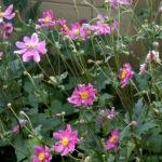 Anemone hupehensis Prinz Heinric rosa - pieno-sole - 36 - 14 - astilbe-begonia-evans-dicentra-form-felci-geranium-hosta