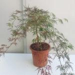 Acer dissectum Atropurpurem - sole - 36 - 28 - come-esemplare-unico-con-altri-aceri-per-creare-zone-di-colore-o-insieme-ad-arbusti-da-fiore-ottima-la-colorazione-autunnale