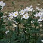 Anemone jap. Honorine Jobert bianco - mezzo-sole - 36 - 14 - astilbe-begonia-evans-dicentra-form-felci-geranium-hosta