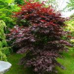 Acer dissectum Blood Good - sole - 36 - 28 - come-esemplare-unico-con-altri-aceri-per-creare-zone-di-colore-o-insieme-ad-arbusti-da-fiore-ottima-la-colorazione-autunnale