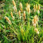 Carex Cariophylla - mezzo-sole - 36 - 15 - aster-boltonia-eupatorium-monarda-heliopsis-rudbeckia-sedum-veronica