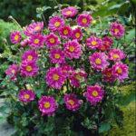 Anemone hybrida Pamina rosso  Nana - mezzo-sole - 36 - 14 - astilbe-begonia-evans-dicentra-form-felci-geranium-hosta