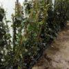 Hedera hybernica - mezzo-sole - 36 - 18 - hedere-da-sola-come-rampicante-ricadente-o-tappezzante