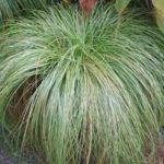 Carex Frosted Curls - mezzo-sole - 36 - 9 - aster-boltonia-eupatorium-monarda-heliopsis-rudbeckia-sedum-veronica