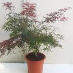 Acer dissectum Garnet - sole - 36 - 28 - come-esemplare-unico-con-altri-aceri-per-creare-zone-di-colore-o-insieme-ad-arbusti-da-fiore-ottima-la-colorazione-autunnale