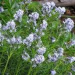 Amsonia aubriccki - mezzo-sole - 36 - 14 - diascia-dianthus-helianthemum-linum-thymus-veronica