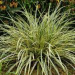 Carex morrowii All Gold - mezzo-sole - 36 - 7 - aster-boltonia-eupatorium-monarda-heliopsis-rudbeckia-sedum-veronica