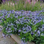 Amsonia au. Blue Iceè - mezzo-sole - 36 - 14 - diascia-dianthus-helianthemum-linum-thymus-veronica