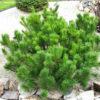 Pinus mugus Pumilio - mezzo-sole - 36 - 18 - ottimo-abbinato-con-juniperus-compatti-in-fioriere-in-giardini-con-essenze-nane-sia-arbustive-che-erbacee-perenni