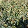 Photinia fraseri Red Robin - sole - 36 - 18 - pianta-da-siepe-in-purezza-sia-in-forma-che-libera-si-abbina-con-piante-da-siepe-e-arbusti-sempreverdi-e-non-di-rapido-sviluppo-e-di-media-grandezza-bene-anche-come-pianta-singola-in-fioriera