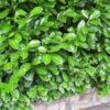 Prunus laurocerasus - mezzo-sole - 36 - 24 - pianta-da-siepe-sia-in-forma-che-libera-dal-rapido-sviluppo-e-di-buon-accrescimento
