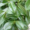 Prunus laurocerasus Novita - mezzo-sole - 36 - 20 - pianta-da-siepe-sia-in-forma-che-libera-dal-rapido-sviluppo-e-di-buon-accrescimento-resistente-allooidio-bel-fogliame-lucido
