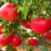 Punica granatum. - sole - 36 - 24 - ottimo-come-pianta-singola-in-fioriera-o-con-altri-arbusti-in-siepe-mista-mollto-decorativa-per-il-frutto-e-per-il-bel-fogliame