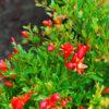 Punica granatum Nana - sole - 36 - 18 - ottimo-come-pianta-singola-in-fioriera-o-con-altri-arbusti-in-siepe-mista-mollto-decorativa-per-il-frutto-e-per-il-bel-fogliame
