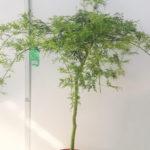 Acer dissectum Viridis - sole - 36 - 28 - come-esemplare-unico-con-altri-aceri-per-creare-zone-di-colore-o-insieme-ad-arbusti-da-fiore-ottima-la-colorazione-autunnale
