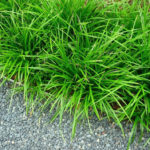 Carex morrwi Irish Green - mezzo-sole - 36 - 9 - aster-boltonia-eupatorium-monarda-heliopsis-rudbeckia-sedum-veronica