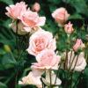 Rosa grandifiori - sole - 36 - 24 - ottimo-come-pianta-singola-o-i-associazione-con-altre-rose-o-arbusti-di-pari-sviluppo