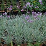 Tulbaghia violacdea Silver Lace - sole - 36 - 15 - alstroemeria-artemisia-lychnis-nepeta-rosmarinum-stachys