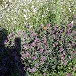 Verbena bonariensis Lolli Pop - sole - 36 - 14 - asclepias-delosperma-gazania-lavanda-santolina-sedumgraminaceee