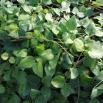 Vinca major sempreverde - mezzo-sole - 36 - 9 - ajuga-convallaria-felci-lamium-waldesteinia