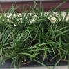 Liriope spicata / graminifolia - mezzo-sole - 36 - 9 - hosta-mitella-tiarella-waldsteinia