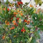 Arbutus unedo - mezzo-sole - 36 - 50 - arbusti-flora-mediterranea-come-pianta-singola-in-giardino-abelia-lavanda-aromi-in-genere-perenni-sempreverdi-e-no