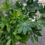 Aralia sieboldi - mezzo-sole - 36 - 30 - aucuba-hosta-hellebori-sarcococa-epimedium