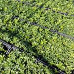 Vinca minor Bowles - mezzo-sole - 36 - 9 - ajuga-convallaria-felci-lamium-waldesteinia-graminacee-arbusti