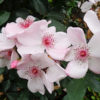 Rosa Astronomia - sole - 36 - 18 - ottimo-come-pianta-singola-o-i-associazione-con-altre-rose-o-arbusti-di-pari-sviluppo