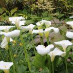 Zantedeskia aethiopica - mezzo-sole - 36 - 24 - convallaria-liriope-graminacee