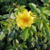 Rosa Golden Tequila - sole - 36 - 18 - rapida-crescita-e-dal-forte-sviluppo