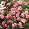 Rosa The Faery - sole - 36 - 18 - ottimo-come-pianta-singola-o-i-associazione-con-altre-rose-o-arbusti-di-pari-sviluppo
