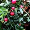 Ruscs aculeatus - mezzo-sole - 36 - 18 - arbusto-da-ombra-di-buona-crescita-sempreverde-aucuba-sarcococca-hosta-hellebori-mughetti-pachisandra-felci