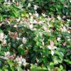 Ryncospermum asiaticum Tricolor - mezzo-sole - 36 - 15 - ottimo-coprisuolo-in-purezza-o-in-abbinamento-con-erbacee-dal-pari-sviluppo-e-crescita-ottimo-in-fioriere-in-associazioni-con-perenni-o-annuali