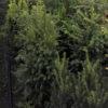 Taxus baccata sempreverde, - mezzo-sole - 36 - 18 - ottimo-come-essenza-da-siepe-regolare-sconsigliatio-louso-in-spazi-pubblici-o-privati-i-presenza-di-bambini