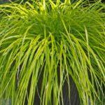 Carex  oschimensis  Everillo - mezzo-sole - 36 - 14 - aster-boltonia-eupatorium-monarda-heliopsis-sedumrudbeckia-veronicaechinaceegraminacee