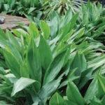 Aspidistra elatior - ombra - 36 - 15 - liriope-ophiopogon-pachysandra-waldsteinia-felci