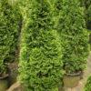 Thuja hemerude - mezzo-sole - 36 - 24 - pianta-da-siepe-in-purezza-o-singola-in-spazi-limitati-e-in-fiorire