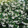 Trachelospernum jasminoides - sole - 36 - 18 - rampicasnte-dallo-sviluppo-unico-sia-come-coprisuolo-che-come-rampicante-fiori-bianchi-profumati