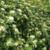 Viburnum lantana - mezzo-sole - 36 - 18 - ottimo-per-attirare-uccelli-e-insetti-impollinatori