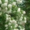 Viburnum opulus (palla di neve/maggio) - mezzo-sole - 36 - 18 - arbusto-da-siepe-singolo-non-in-forma-ottimo-per-attirare-uccelli-e-insetti-impollinatori