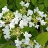 Viburnum plicatum Watanabe - sole - 36 - 26 - ottimo-come-pianta-singola-in-giardino-o-fioriera-ottimo-in-associazione-con-ortensia-di-diverse-variet%c2%88