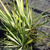 Yucca filamentosa Golden Sword - sole - 36 - 24 - ottimo-in-associazione-tra-di-loro-o-con-perenni-e-graminacee-dallo-stesso-sviluppo-e-portamento