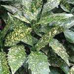 Aucuba japonica Variegata - ombra - 36 - 30 - sarcococca-hosta-liriope-pachisandra-mughetti-felci-anemoni-hellebori