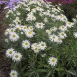Aster domosus bianco - mezzo-sole - 36 - 15 - chrysanthemun-articum-coreopsis-echinacea-graminacee-persicaria