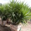 Yucca gloriosa - sole - 36 - 24 - ottimo-in-associazione-tra-di-loro-o-con-perenni-e-graminacee-dallo-stesso-sviluppo-e-portamento